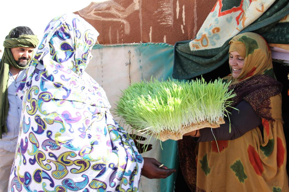 Photo: Sahrawi refugees in Algeria are producing crops in the Sahara desert using hydroponics from the NAIM HAMIDOUCHE/WORLD FOOD PROGRAMME